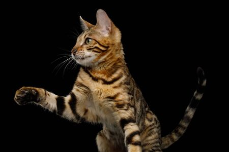 Playful Bengal Cat Sitting and Raising paw on Isolated Black Background, Front view