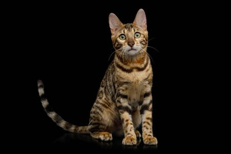 Playful Bengal Cat Sitting on Isolated Black Background, Front view