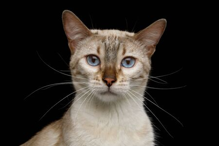White Bengal Cat with Blue Eyes Stare in Camera on Isolated Black Background, close-up view