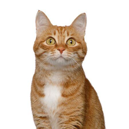 Portrait de chat rouge satisfait sur fond blanc isolé, vue de face