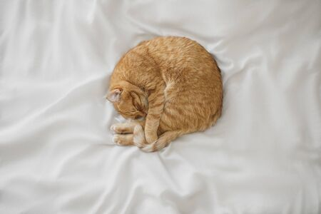 Red ginger cat sleep at white bedsheet and hide nose