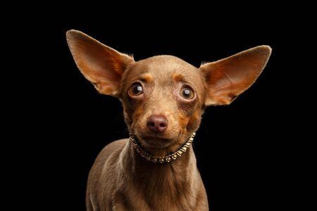 Portrait of Toy Terrier isolated on black background 版權商用圖片