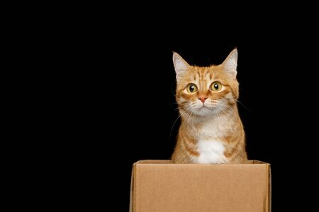Funny red cat sitting in box with curious face on Isolated Black background