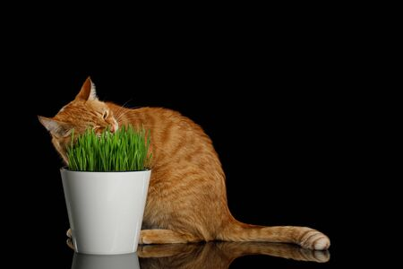 Red Cat sitting and eating wheat grass on isolated black background