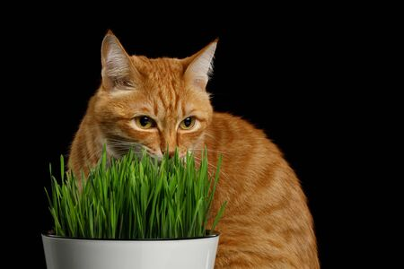 Portrait of Red Cat sitting and eating wheat grass on isolated black background