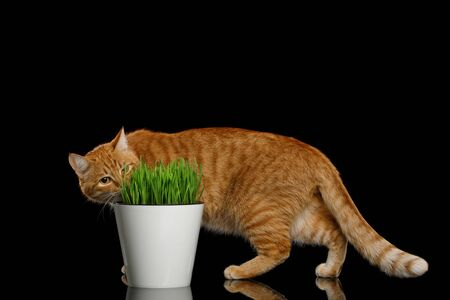 Red Cat walk and eating wheat grass on isolated black background