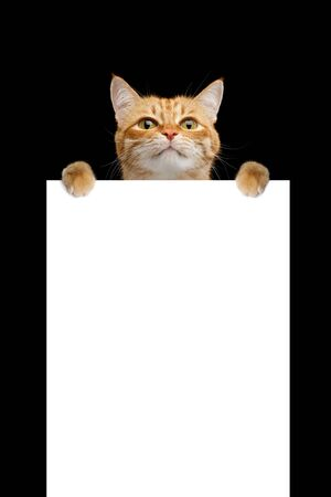 Funny cat hang on placard isolated on black background, blank web banner template and vertical copy space 版權商用圖片