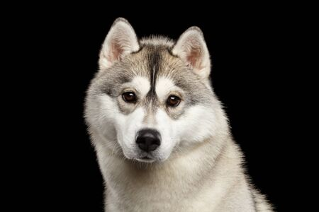 Portrait of Young Siberian Husky Dog on Isolated Black Background