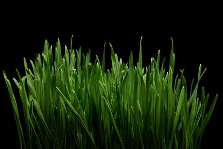 Close-up of the green wheat grass on black background