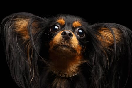 Portrait of Russian Toy Terrier with Furry Ears isolated on black background 版權商用圖片