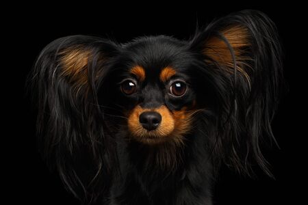Portrait of Russian Toy Terrier isolated on black background