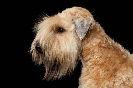 Portrait of Irish Soft Coated Wheaten Terrier on Isolated Black Background, Profile view 版權商用圖片