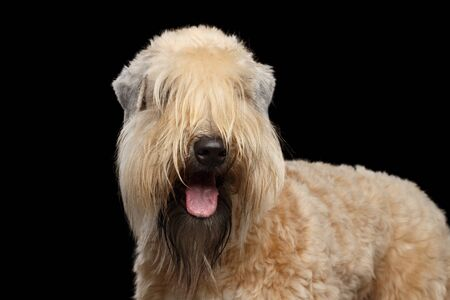 Portrait of Irish Soft Coated Wheaten Terrier Standing on Isolated Black Background