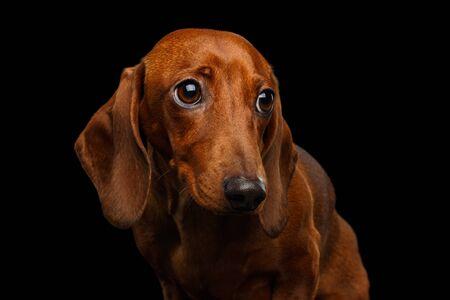 Portrait of Sad Red Dachshund Dog on isolated black 版權商用圖片