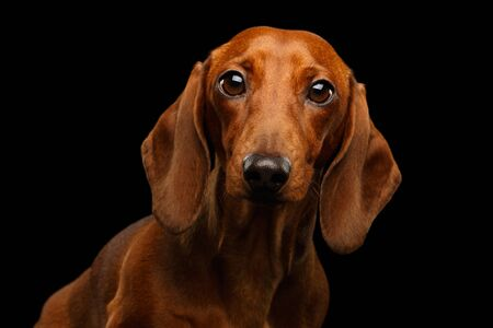 Portrait of Red Dachshund Dog on isolated black