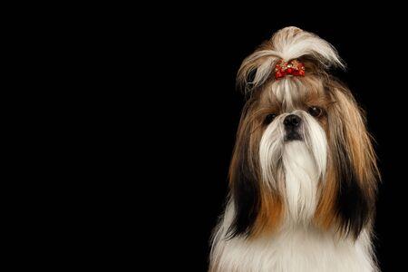 Portrait of Shih tzu dog, groomed on isolated black
