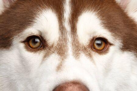 Close-up Eyes of Brown Siberian Husky Dog 版權商用圖片