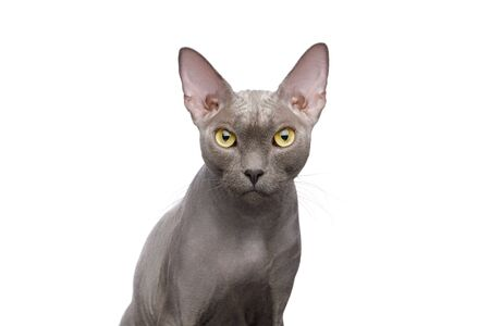 Portrait of Grey Sphynx Cat on isolated white