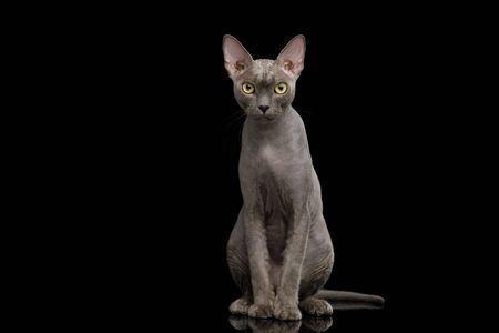 Gray Sphynx Cat Sitting isolated on Black 版權商用圖片
