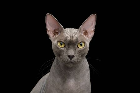 Portrait of Gray Sphynx Cat isolated on Black