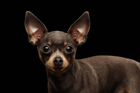 Close-up Portrait of Little Toy Terrier Dog Stare on isolated black background