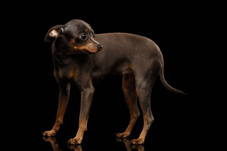 Frightened Dog Toy Terrier Standing on isolated black background, Looking back, side view