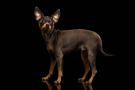 Little Dog Toy Terrier Standing on isolated black background, side view 版權商用圖片