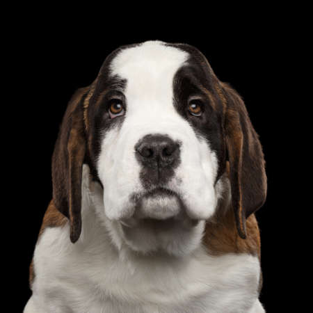 Close-up Portrait of Unhappy Saint Bernard Puppy on Isolated Black Background, Front view 版權商用圖片
