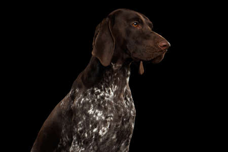 Potrait of German Shorthaired Pointer Dog or Kurzhaar in Profile view on Isolated Black Background