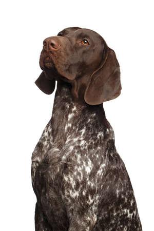 Potrait of German Shorthaired Pointer Dog or Kurzhaar on Isolated White Background
