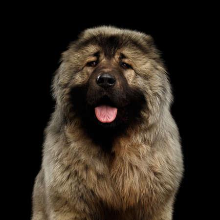 Portrait of Caucasian Shepherd Dog on isolated Black Background