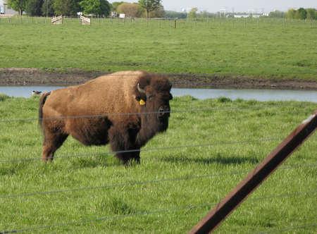 buffalo Reklamní fotografie - 777296