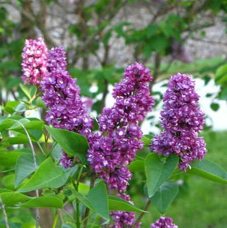 purple lilacs with white flowers
