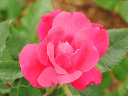 red , pink rose