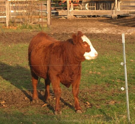 electric fence: single cow against electric fence on farm