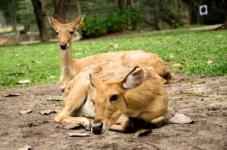 brow antlered deer in Khow keaw zoo, Chonburi Stock Photo - 23017936