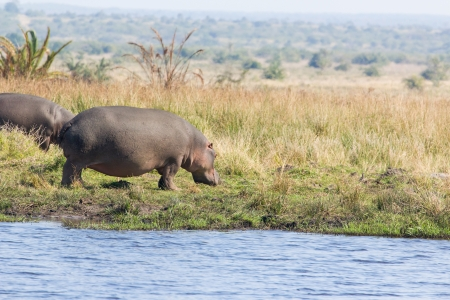 Herd of Hippopotamus grazing out the water during day time photo