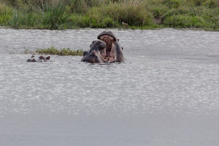 Two Hippopotamus fighting in the water during day time photo
