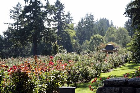 Many colorful rose flowers blooming in the summer sun at this world famous city park in Oregon. photo