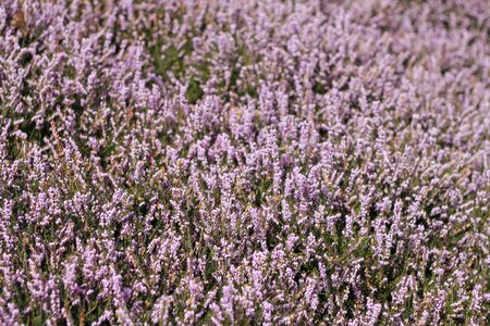 Large planting of delicate purple flowers with small green leaves on a spring day. Фото со стока