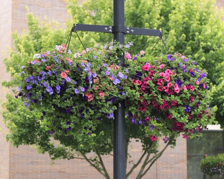 flower baskets: Two colorful flower baskets filled with petunias hanging from a public lamppost in the summer across the street from a public library.