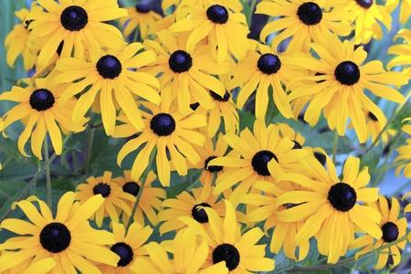 hirta: Beautiful Black-eyed Susan flowers with deep yellow petals and dark center.  Stock Photo