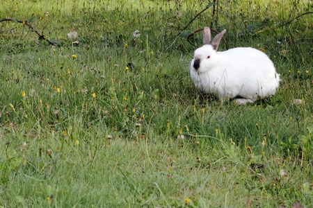 lagomorpha: Wild white rabbit outdoors in the morning in a favorite grazing grassland looking at viewer. Stock Photo