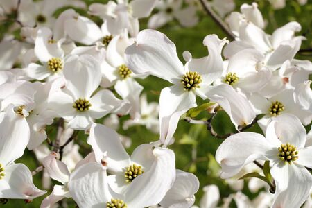 White dogwood tree flowers blooming on a sunny spring day.