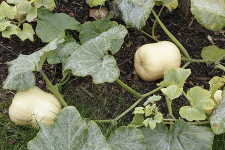 Butternut squash fruit growing outdoors in a garden.