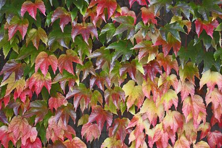 Colorful Boston ivy slightly wet from rain climbing up a cement sound barrier wall in autumn. photo