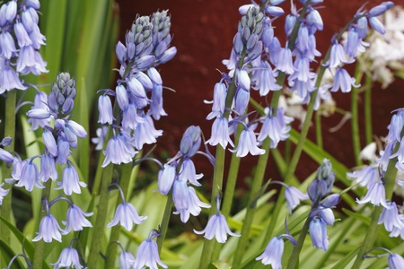 Gorgeous and small violet bluebell and white flowers growing in the spring daylight in front of a red painted cement wall close up. photo