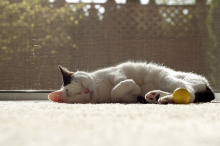Adult female feline napping on a carpet with a yellow cat nip ball by its feet inside in front of an open screen door.