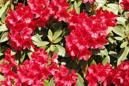 bush to grow up: Strong red flower blooms of the evergreen rhododendron bush bask in the spring sunlight   Stock Photo