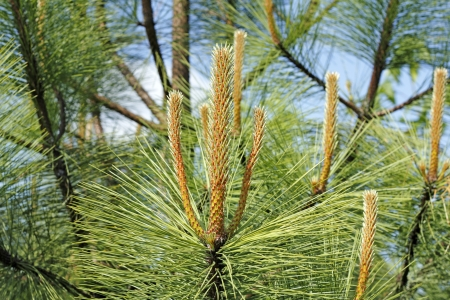 tip of the leaf: Detailed view of long pine tree candle formations growing wild with pine tree branches, leaves, and a blue sky in the background